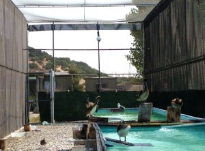 The beautiful new pelican enclosure at International Bird Rescue. Even the biggest birds have room to fly.