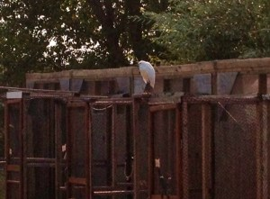 This little guy -- an egret? -- looks like its waiting for some friends to get out of the recovery room....