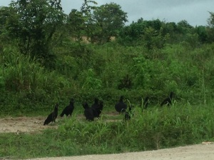 We were sort of joking that this is the Belizean AAA, but then this one vulture kept following us own this crazy road .... it got less funny.