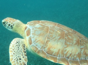 Spotted this sea turtle in the Hoy Chen Marine Reserve, our first stop on our snorkeling tour.