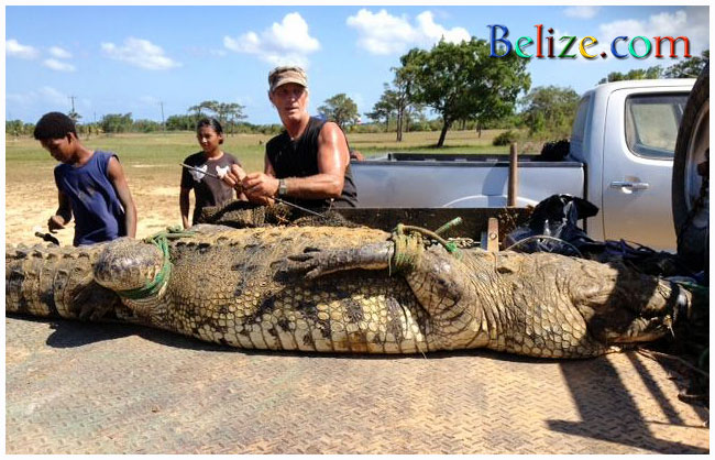 Vince Rose, a U.S. immigrant who runs the local American Crocodile Education Sanctuary, ACES,  based on Ambergris Caye captured this killer crock, variousl reported between 10 and 12 feet long and weighing over 500 pounds. This croc is believed to have killed a mainand fisherman in a pond near Belize City.