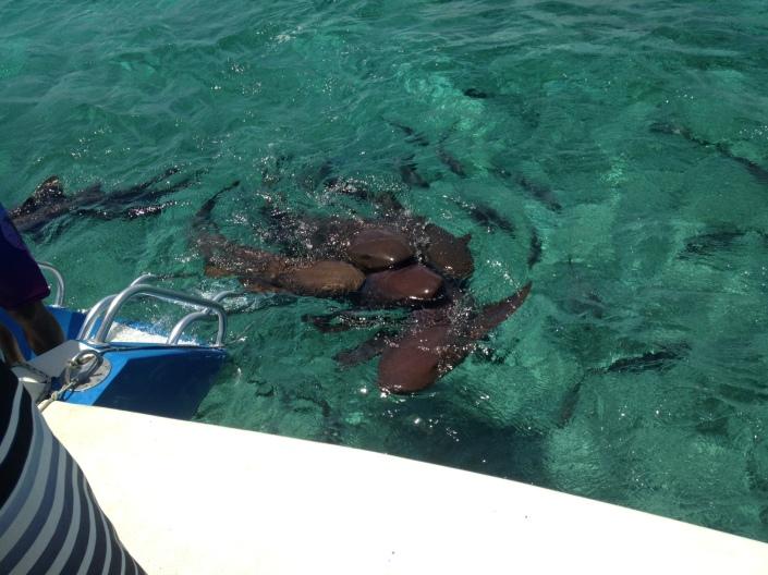 snorkel-sharks1