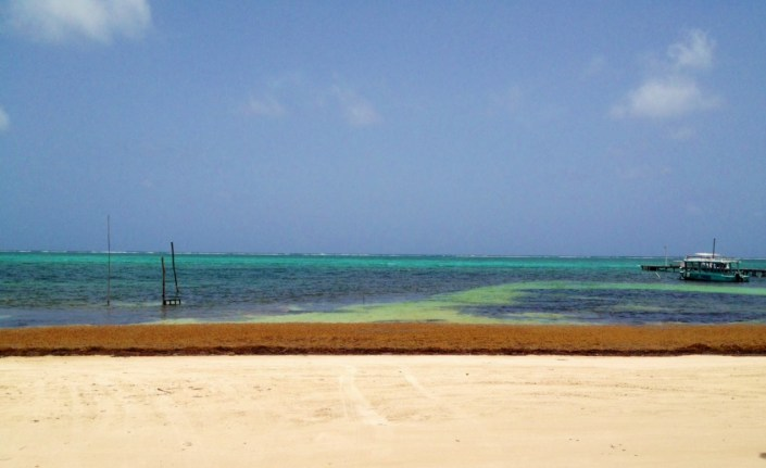 Wide floating gobs of Sargassum have washed up on the shores of Ambergris Caye, adding a new color to the local palette.