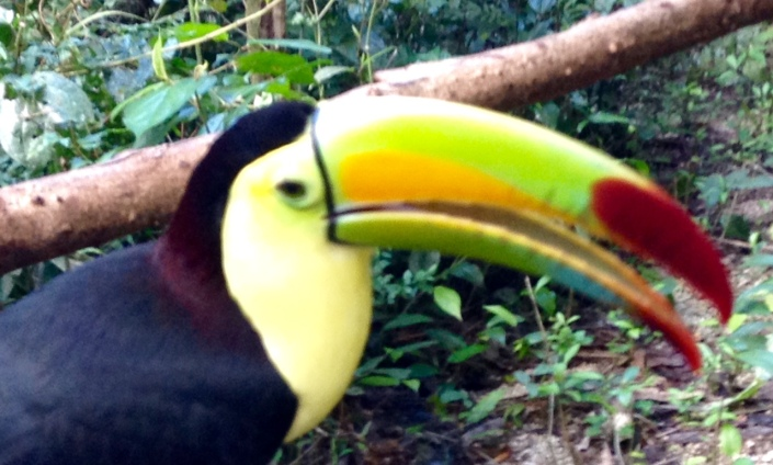 Toucan at the Belize Zoo.