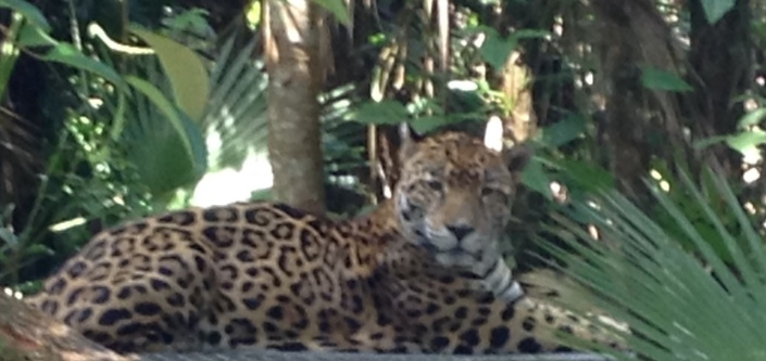 The jaguar (Panthera onica), mightiest cat in the Western Hemisphere.