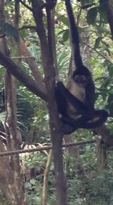 Playful Spider monkeys at the Belize Zoo.
