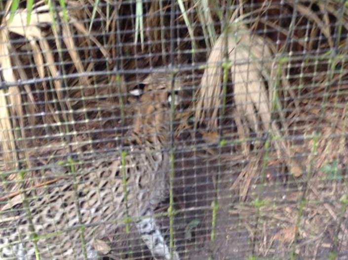 Ocelot has found his Camelot at the Belize Zoo.