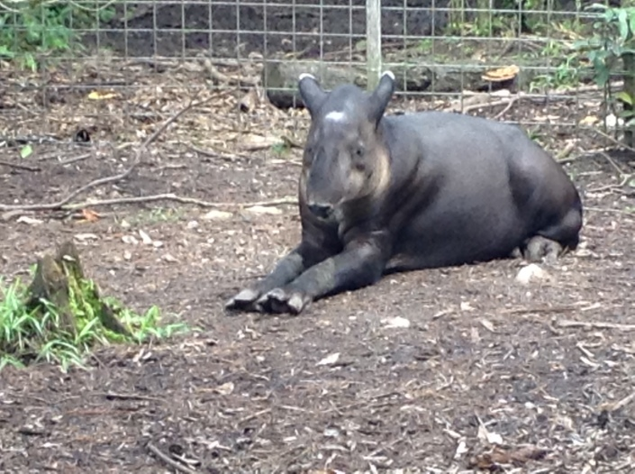Our national animal, the Central American Tapir, is in danger more from automobiles on the Western Highway than any other predator.