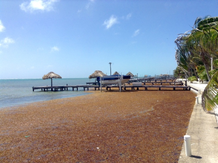 And this my friends, is what we have on Ambergris Caye, instead of sweeping white-sand beaches -- sargassum. Thank you, Sargosso Sea, we don't know what is going on with you this year but enough already!