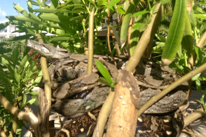 This boa showed up earlier this week. The first I've actually seen in the wild. Crocodiles can be spotted from time to time, more likely if you are on the lagoon-side of the island. Love nature, don't you?