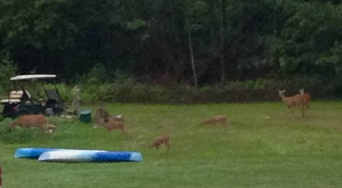 Early Tuesday morning, a herd of deer came down to the lawn to graze for a while before people started rising and dogs started running free.