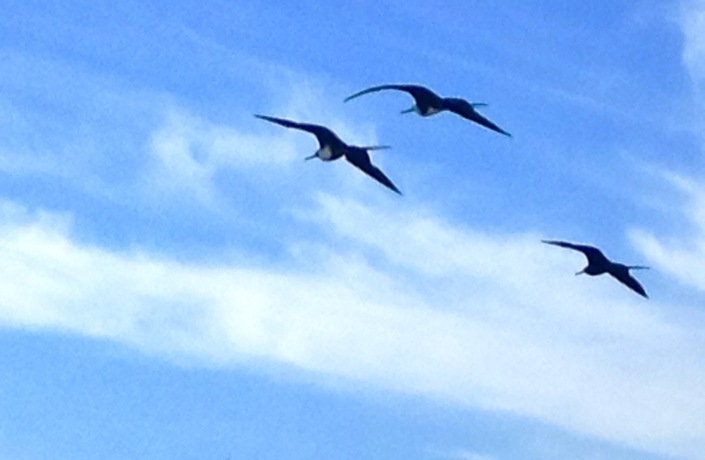 Magnificent frigate birds, flying in formation. That is their name, magnificent. And they do as they ride the wind currents, hover and swoop and dive with a gracefulness that belies their thievish dark side.