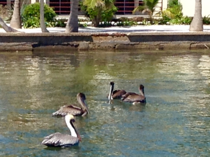 The pelicans are graceful in the sky and serene while bobbing on the sea but look like crash test dummies when they land on the water.