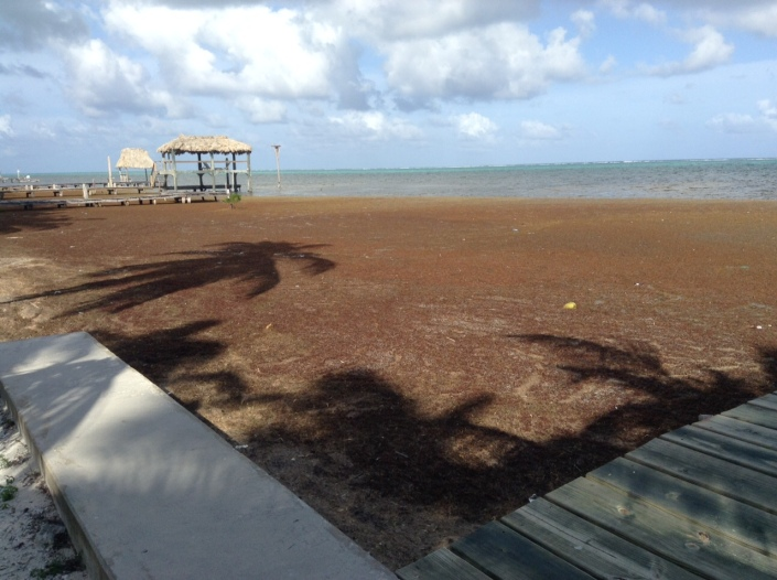 Lately, on Ambergris Caye, the stinky sargassum has been as much a part of our lives as the sunshine and the rain -- all year, in fact. You won't find it on a post card in the souvenir shop.