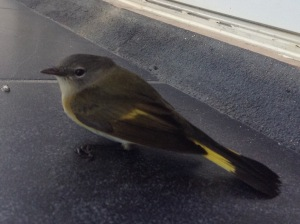 Second bird to fly into the glass door on Sunday.