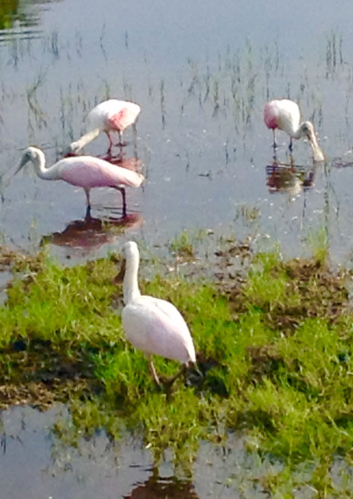 My favorite island birds -- the roseate spoonbills are back. Pretty great when you just need to walk out into your front yard to photograph them.