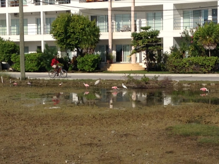 A feeding frenzy this morning in the small pond of rainwater in front of our home in San Pedro, Ambergris Caye, Belize.