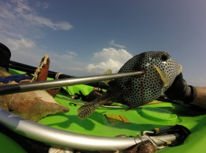 Jeff Drew's catch of the day, a box fish.
