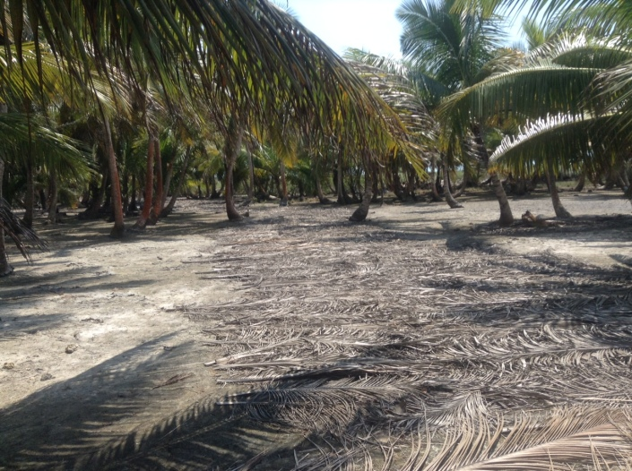 Palm fronds mark the path through part of Blackadore Caye, leading toward the high grass fields where the salt water has frequently overrun the island.