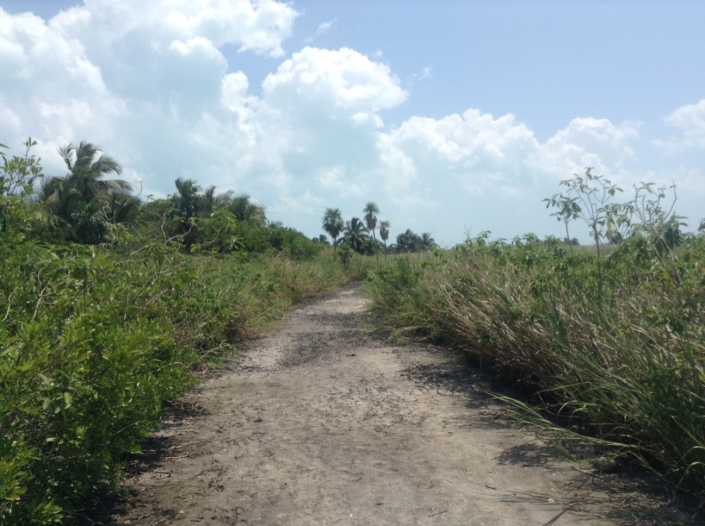 A well carved path runs through the dense sea grasses in the mid-section of Blackadore Caye.