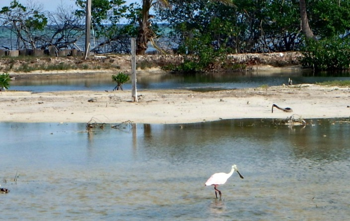 The roseate spoonbills are back! They are feeding just north of the bridge on Ambergris Caye.... certainly more delicately beautiful than this photo might suggest.