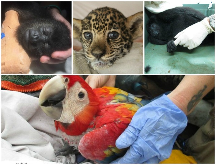 These are all animals rescued by Belize Wildlife & Referral Clinic. They need your help to grow their facilities and rescue more such animals.